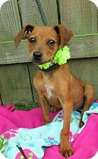 Dachshund Mix Puppy for adoption in Kimberton, Pennsylvania - Zoey