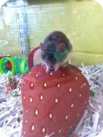 Mouse for adoption in Reisterstown, Maryland - Pokey