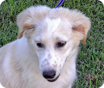 Collie Mix Puppy for adoption in Searcy, Arkansas - Justina