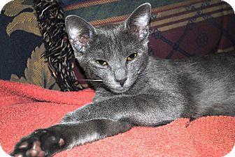 Domestic Shorthair Kitten for adoption in Fort Pierce, Florida - Brann