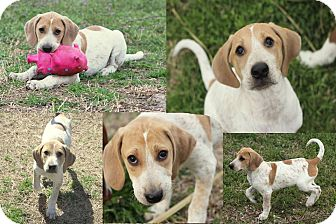 Hound (Unknown Type) Puppy for adoption in Sumter, South Carolina - RIDLEY