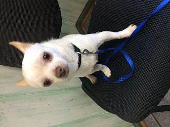 Chihuahua Dog for adoption in S. Pasedena, Florida - Gibbs