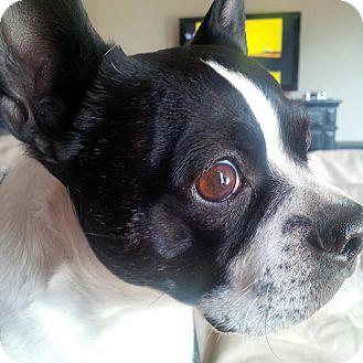 Border Collie Dog for adoption in Nampa, Idaho - DWIGHT
