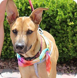 German Shepherd Dog/Mastiff Mix Puppy for adoption in Las Vegas, Nevada - SUMMER