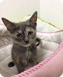 Domestic Shorthair Kitten for adoption in Toledo, Ohio - Libbey