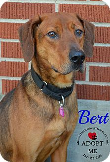 Redbone Coonhound Mix Dog for adoption in Youngwood, Pennsylvania - Bert