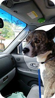 Akita Mix Dog for adoption in berwick, Maine - Hatchie