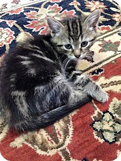 Domestic Shorthair Kitten for adoption in Austintown, Ohio - Brody