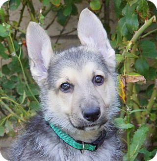German Shepherd Dog Puppy for adoption in Thousand Oaks, California - Bruce von Geneva