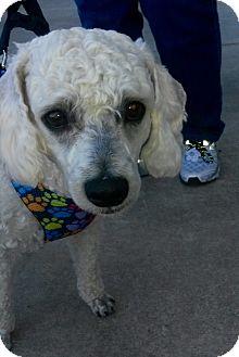 Poodle (Standard) Mix Dog for adoption in Hartford, Connecticut - Kringle