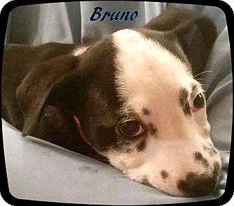 Terrier (Unknown Type, Medium) Mix Puppy for adoption in Ahoskie, North Carolina - Bruno