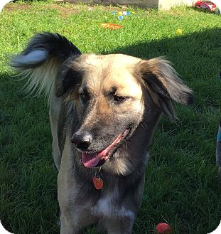 German Shepherd Dog/Spaniel (Unknown Type) Mix Dog for adoption in Dripping Springs, Texas - Tessa-Referral