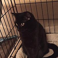 Domestic Shorthair Cat for adoption in Virginia Beach, Virginia - Bella