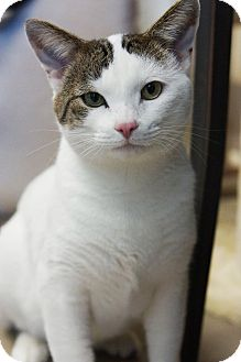 American Shorthair Cat for adoption in Crested Butte, Colorado - Petey