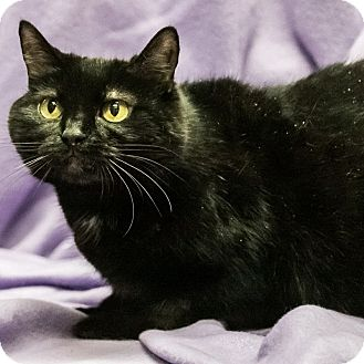Domestic Shorthair Cat for adoption in Wheaton, Illinois - Inkwell