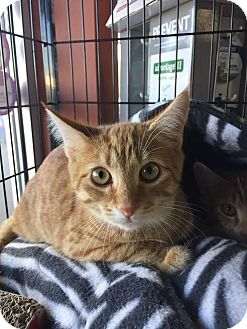 Domestic Shorthair Cat for adoption in North Haledon, New Jersey - Theodore