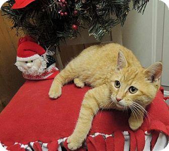 Domestic Shorthair Kitten for adoption in Sullivan, Missouri - Cheeto