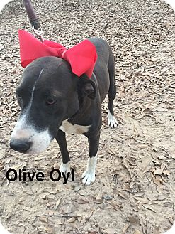 Labrador Retriever/Terrier (Unknown Type, Medium) Mix Dog for adoption in East Hartford, Connecticut - Olive Oyl