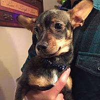 Chihuahua/Dachshund Mix Puppy for adoption in Corona, California - ROSCOE or LIL RASCAL