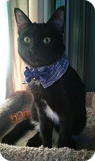 Domestic Shorthair Cat for adoption in Owatonna, Minnesota - Kramer