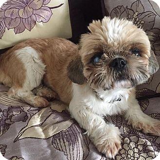 Lhasa Apso/Shih Tzu Mix Dog for adoption in Los Angeles, California - GALA