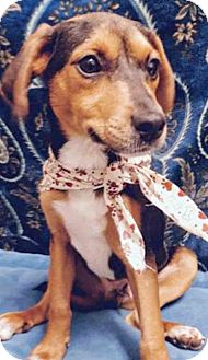 Hound (Unknown Type) Mix Puppy for adoption in Lewis Center, Ohio - ADOPTED!!!   Mendel
