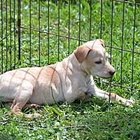 Adopt A Pet :: Crystal - Springfield, VA