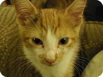 Domestic Shorthair Kitten for adoption in Oviedo, Florida - Tansy