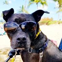 Adopt A Pet :: Kiko 83 - Puunene, HI