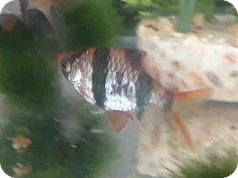 Fish for adoption in Fort Collins, Colorado - VENUS
