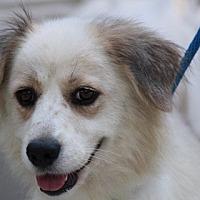 Adopt A Pet :: Lassie - Yardley, PA