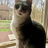 Adopt A Pet :: Cynthia (FeLV+) - Harleysville, PA