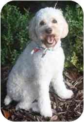 Cockapoo Puppy for adoption in Sugarland, Texas - Apollo