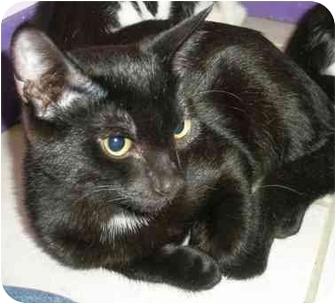 Domestic Shorthair Kitten for adoption in Medford, Massachusetts - Firefly