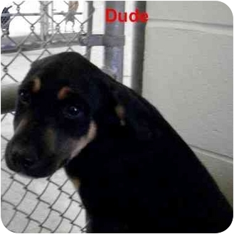 Catahoula Leopard Dog Mix Puppy for adoption in Slidell, Louisiana - Dude