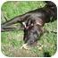 Photo 3 - American Pit Bull Terrier Mix Puppy for adoption in Framingham, Massachusetts - Walter