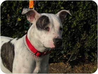 Terrier (Unknown Type, Medium)/Pointer Mix Dog for adoption in Houston, Texas - Perla