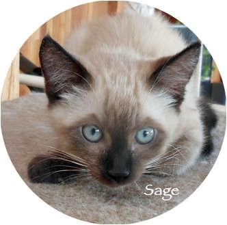Siamese Kitten for adoption in Mandeville Canyon, California - Sage
