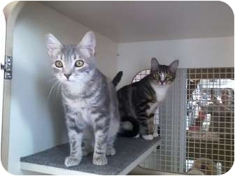 Domestic Shorthair Cat for adoption in Los Angeles, California - Frankie