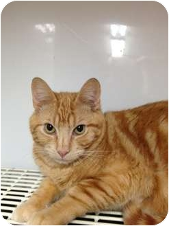 Domestic Shorthair Cat for adoption in Wenatchee, Washington - Mango