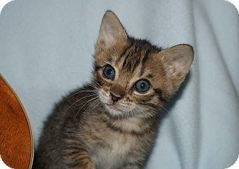 Domestic Shorthair Kitten for adoption in Berlin, Connecticut - Julius