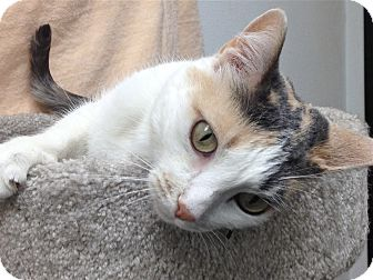 Calico Cat for adoption in Foothill Ranch, California - Karma