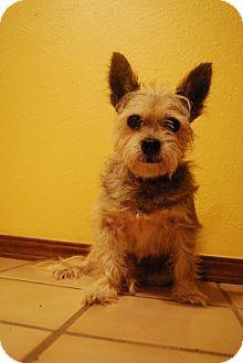 Yorkie, Yorkshire Terrier/Cairn Terrier Mix Dog for adoption in Astoria, New York - Rupert