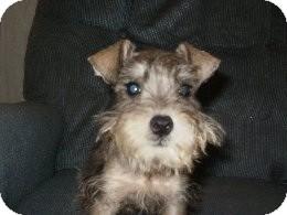 Schnauzer (Miniature) Mix Puppy for adoption in North Benton, Ohio - Manley puppy