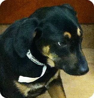 German Shepherd Dog Mix Puppy for adoption in Oswego, Illinois - I'M ADOPTED Kringle Adams