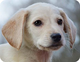 Golden Retriever/Labrador Retriever Mix Puppy for adoption in Plainfield, Connecticut - Paxton