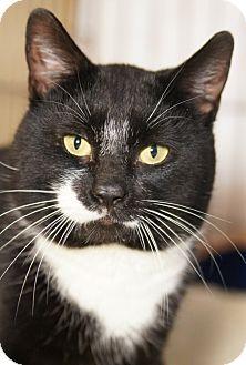 Domestic Shorthair Cat for adoption in Medford, Massachusetts - Johnson