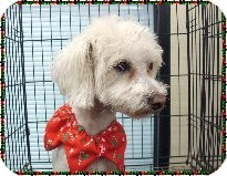 Chinese Crested Mix Dog for adoption in Las Vegas, Nevada - James