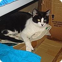 Adopt A Pet :: Sherlock - Brooklyn, NY