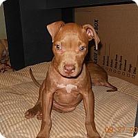 Adopt A Pet :: Macy - Killen, AL